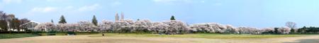 運動公園の桜
