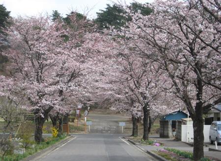 烏ヶ森公園桜