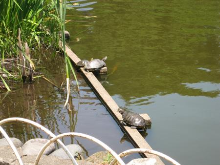 烏ヶ森公園の亀